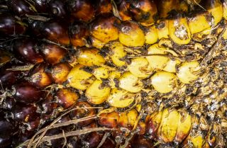 This photo shows palm oil fruit after harvest.