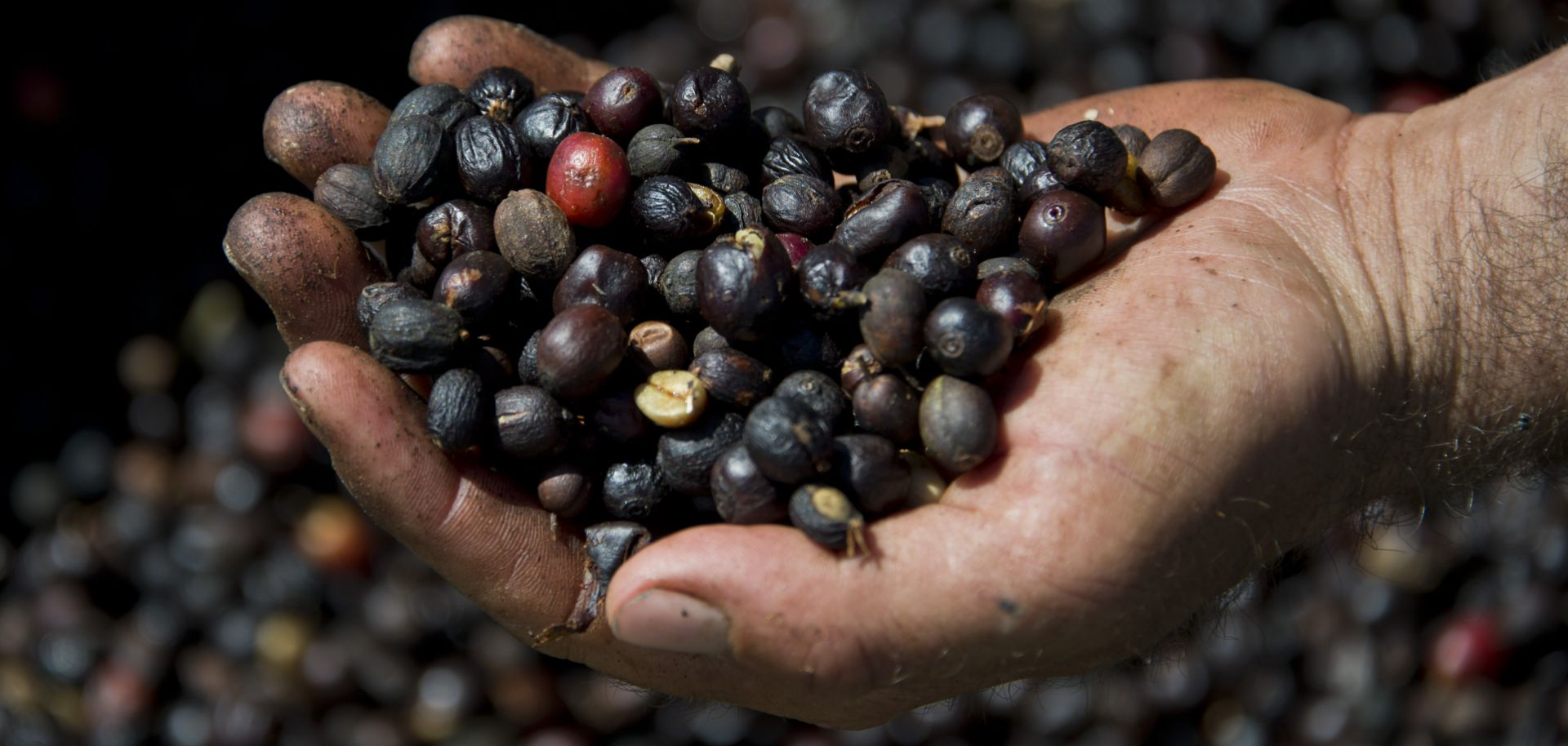 A worker holds organic coffee beans produced at the Fortaleza Environmental Farm in Mococa, about 300 kilometers northeast of Sao Paulo, in 2015.
