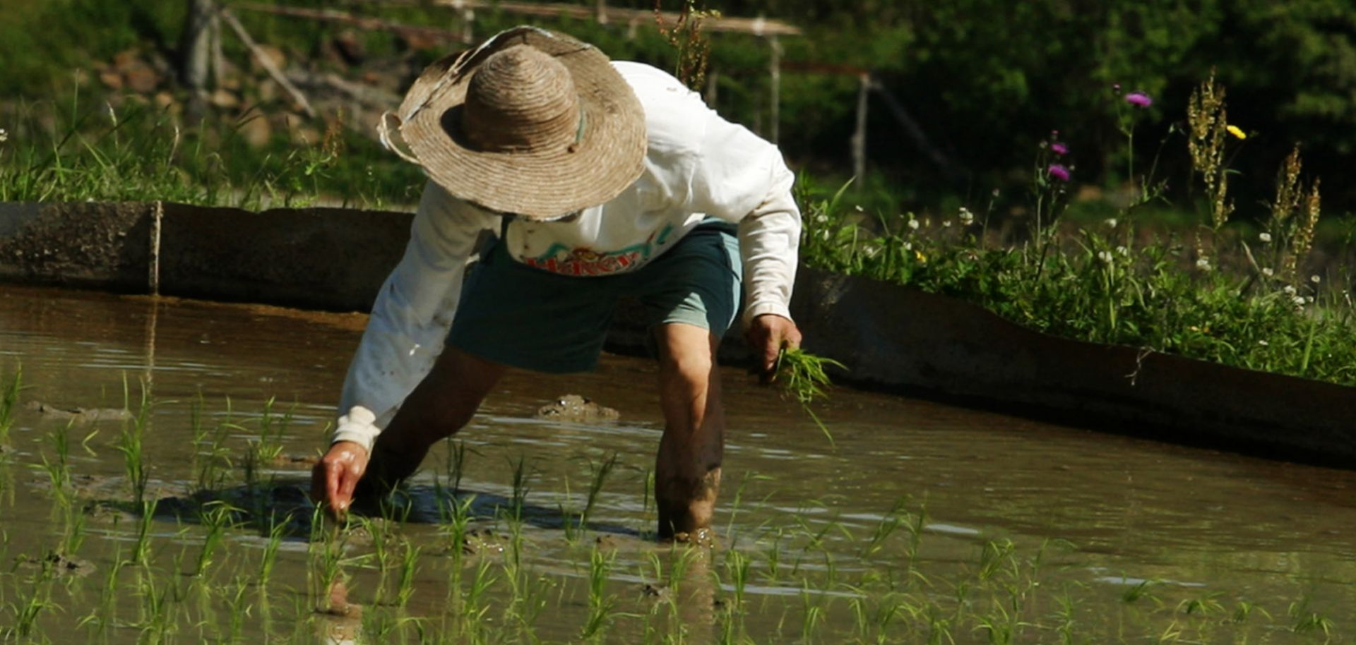 A Japanese farmer plants rice seed at Tawa rice terrace in Sayo, Hyogo prefecture, Japan.