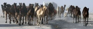Qatari herdsmen drive their camels along Qatar's border with Saudi Arabia.