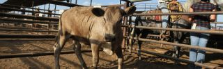 A cow for sale at the Abilene Livestock Auction in Texas.